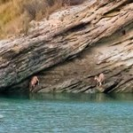 Ibex at Hingol river.